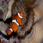 Clownfisch (Amphiprion ocelaris)