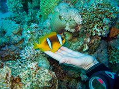 Clownfish beim Kuscheln...