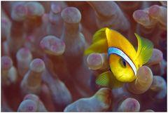 Clownfish I - Mama