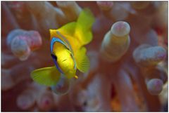 Clownfish III - Mama schielt!
