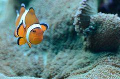 Clownfish No1