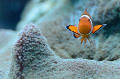 Clownfish No2