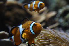 Clowns Anemonenfisch