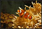 Clownsfisch in seiner Anemone.