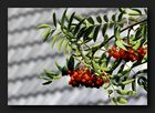 Clusters of rowan berries