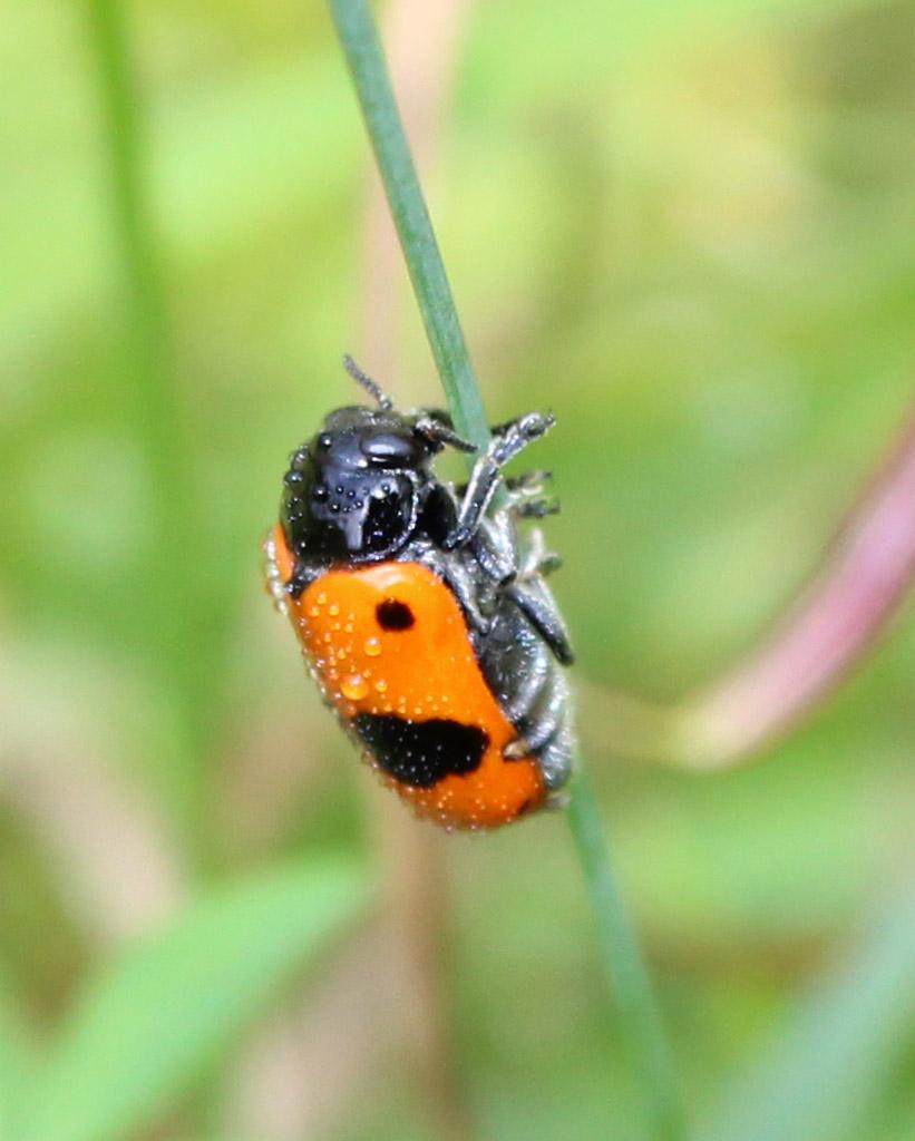 Clytra laeviuscula- Ameisen Sackkäfer