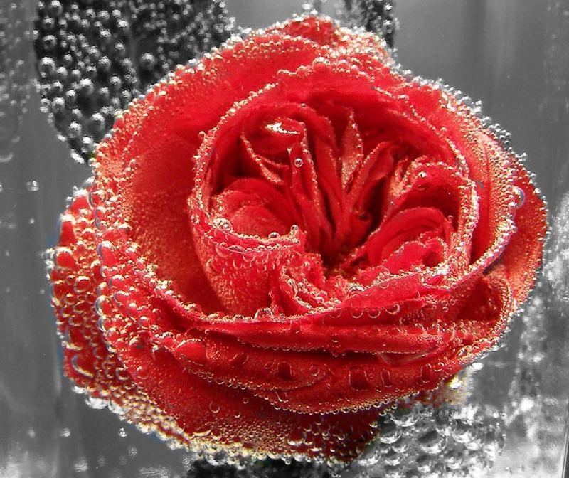CO2-Rose