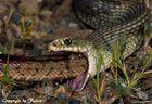 Cobra-rateira