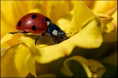 - Coccinella septempunctata -