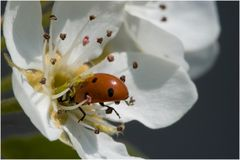 Coccinella septempunctata sur fleur de poirier (2)