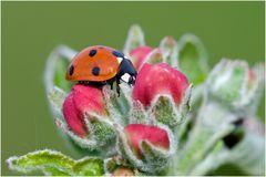 Coccinelle 7-points sur fleur de pommier