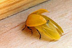 Coccinellidae sehr jung, er hat noch keine Punkte, Flügel raus zum Trocknen