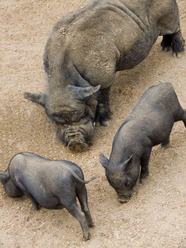 cochons chinois