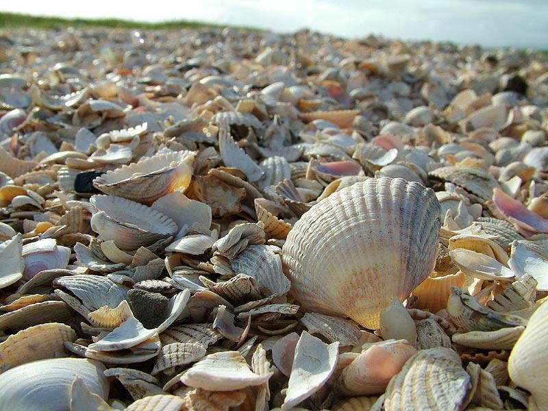 Cockel shells