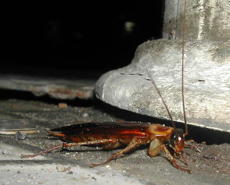 Cockroach - Cucaracha Benidorm 2002
