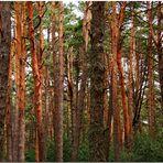 Código de barras con pino silvestre