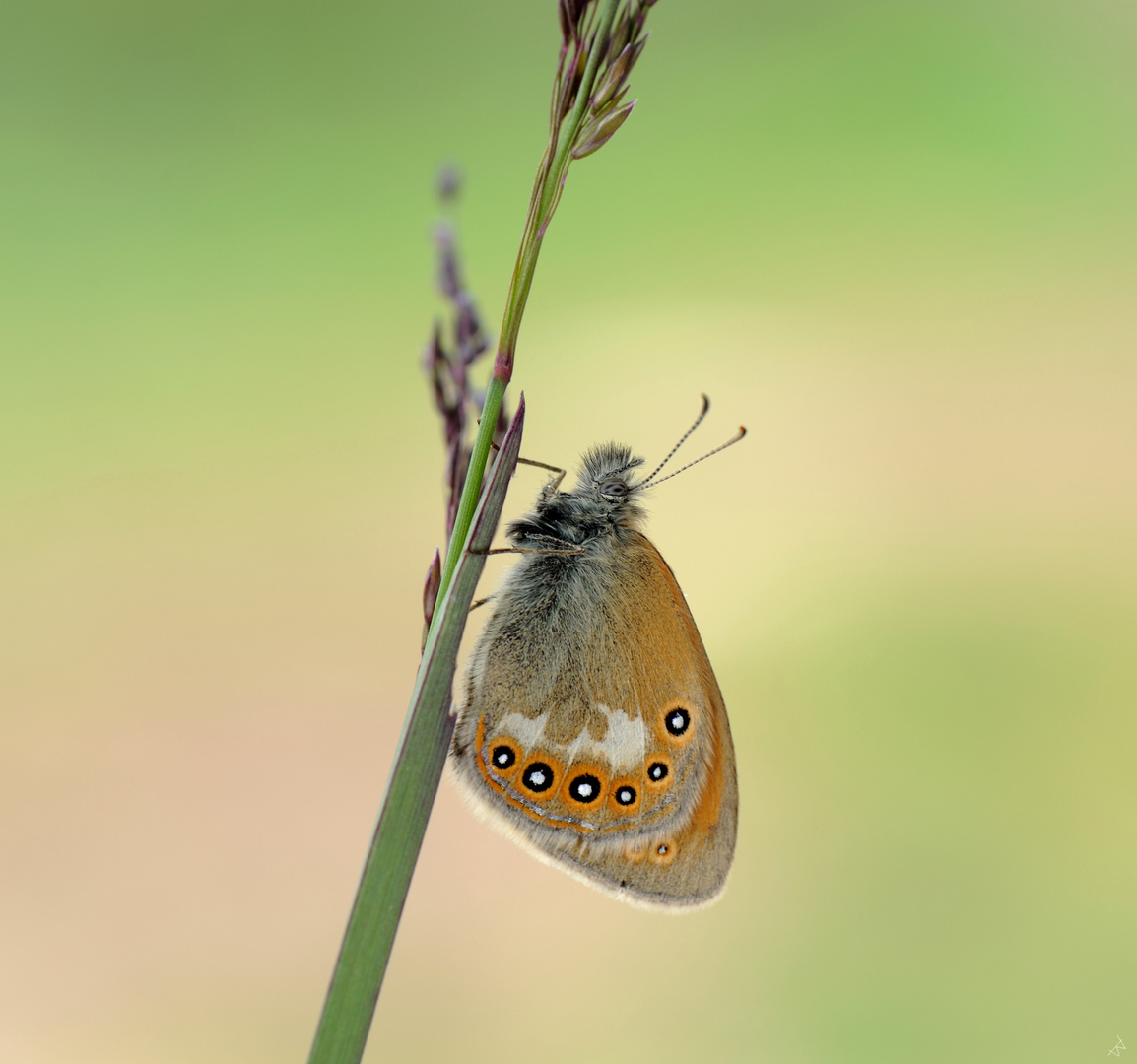 Coenonympha glycerion iphicles