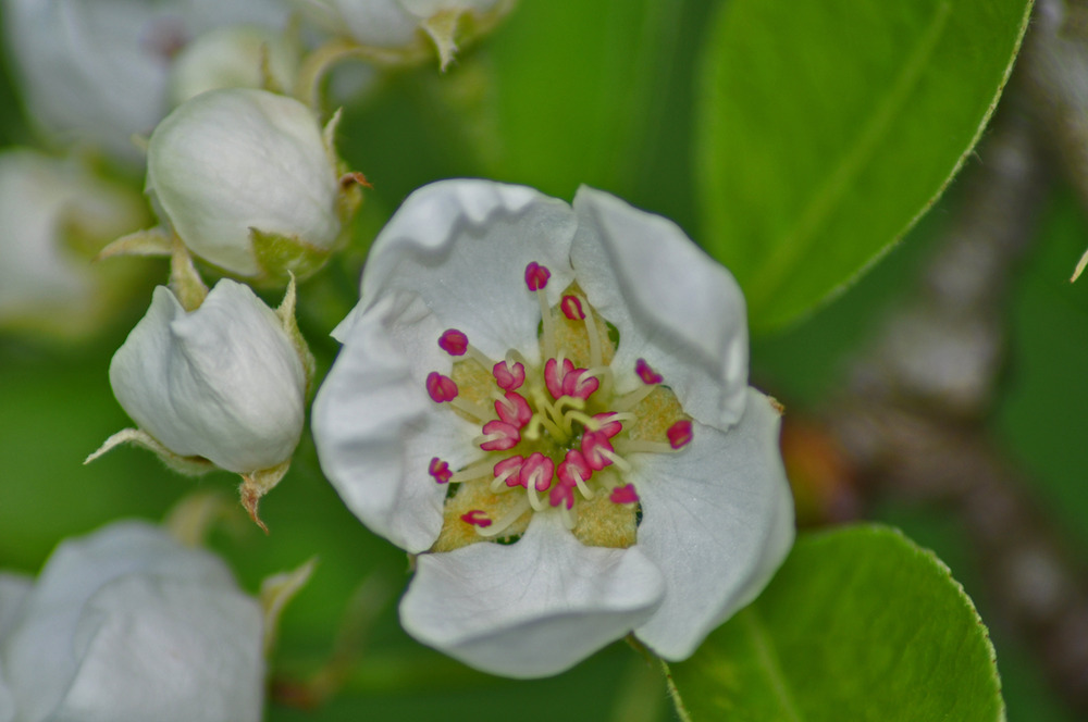 coeur de fleur de poirier