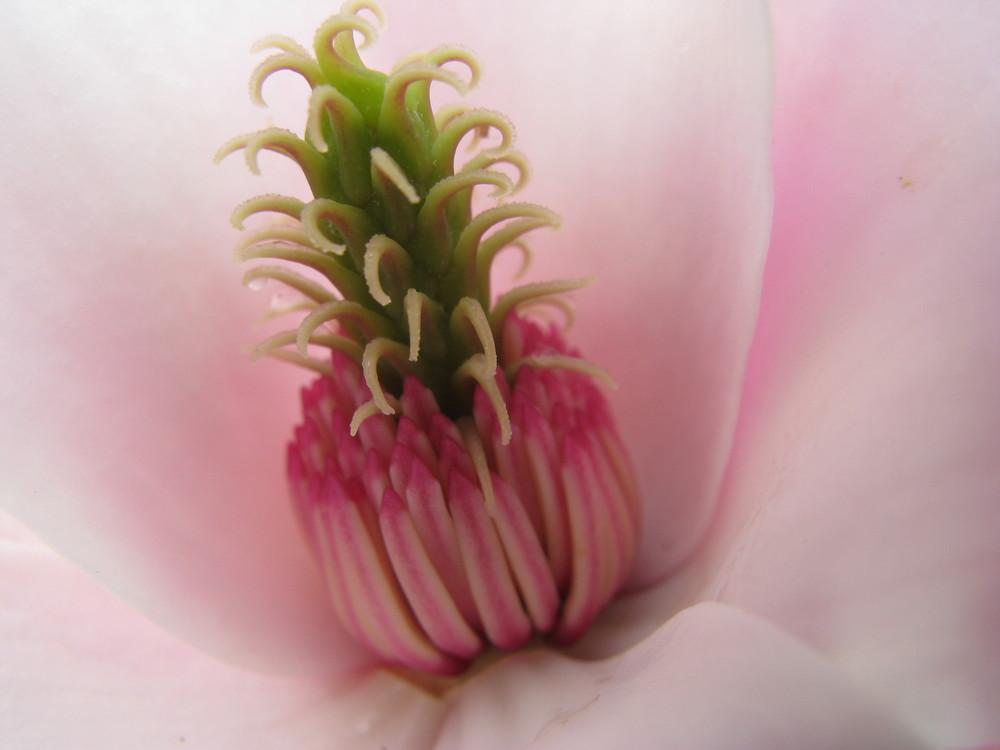 Coeur de magnolia