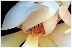 coeur de magnolia .....