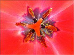 ..Coeur de tulipe (3)