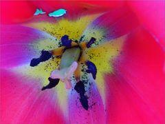 ...Coeur de Tulipe...