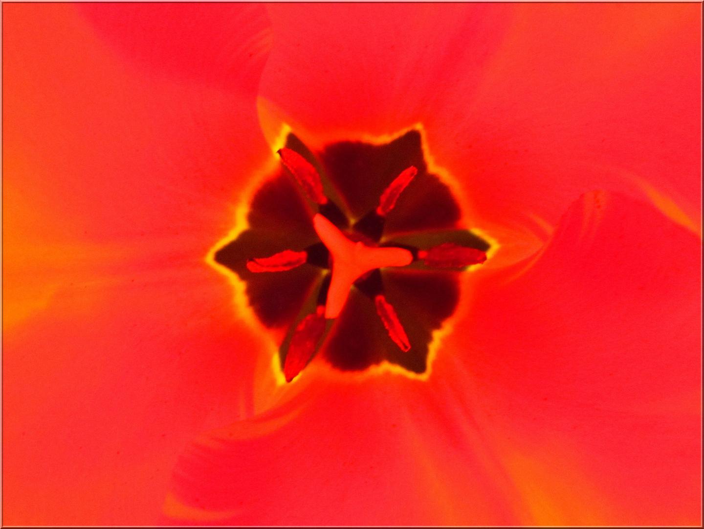 ..Coeur de tulipe..