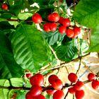 Coffee tree :) in my home- good year.