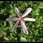 - colchicum autumnale -