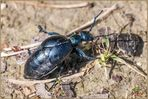 Coleoptera Meloidae femmina ( Meloe impressus ) Linnaeus, 1758