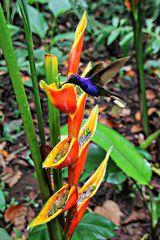 colibri butinant un balisier
