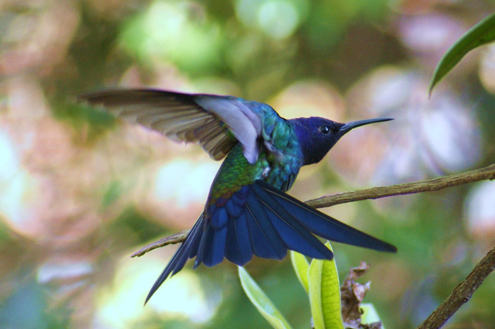 Colibri contorsionista