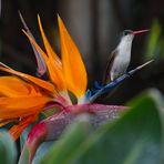Colibri in Paradise
