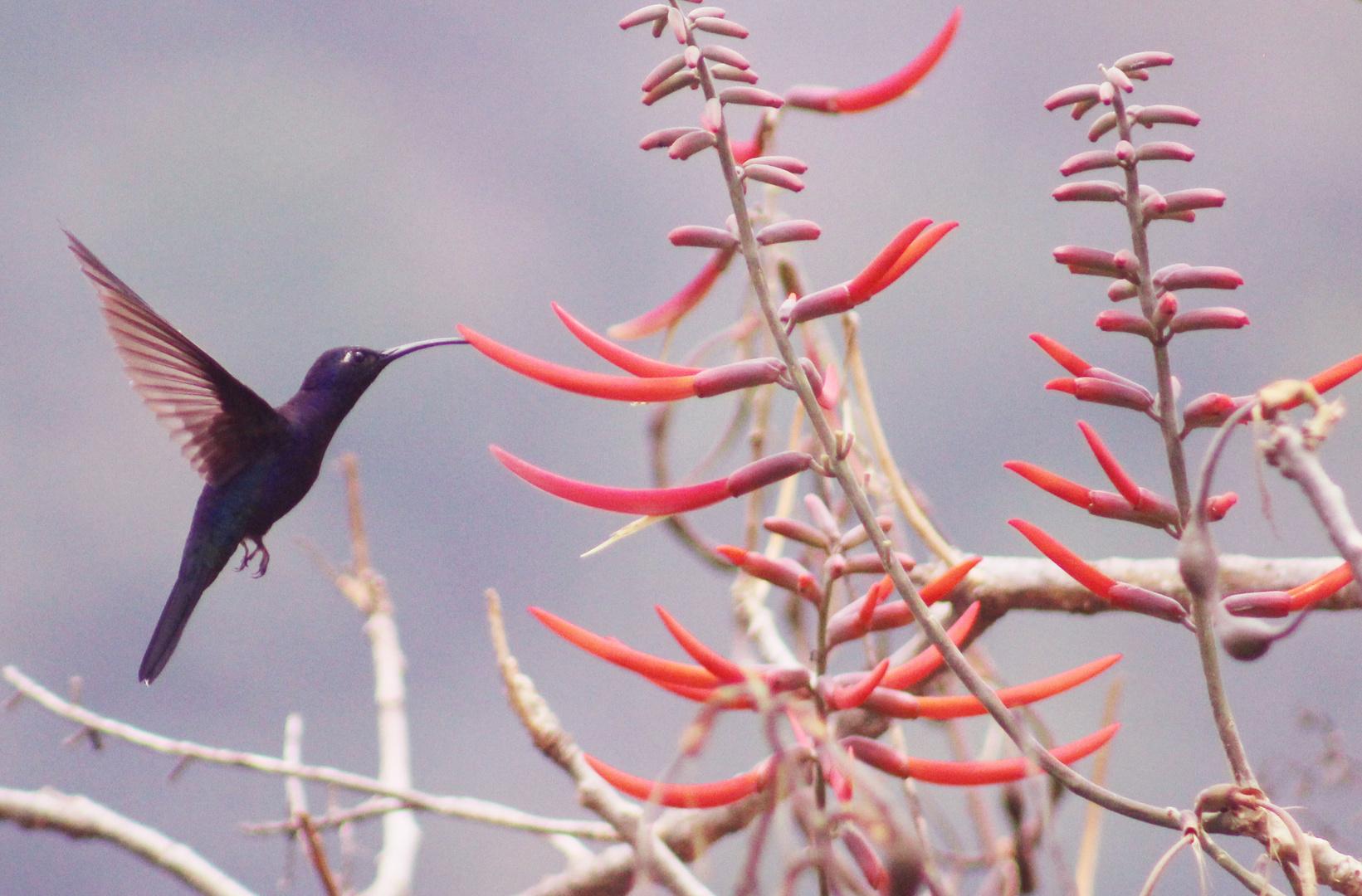 Colibrí morado