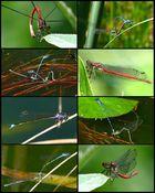 Collage Odonata!!!