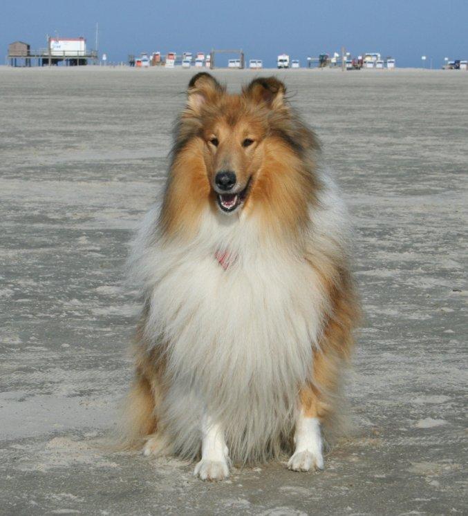 Collie am Strand