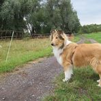 Collie Junghund mit Schafen