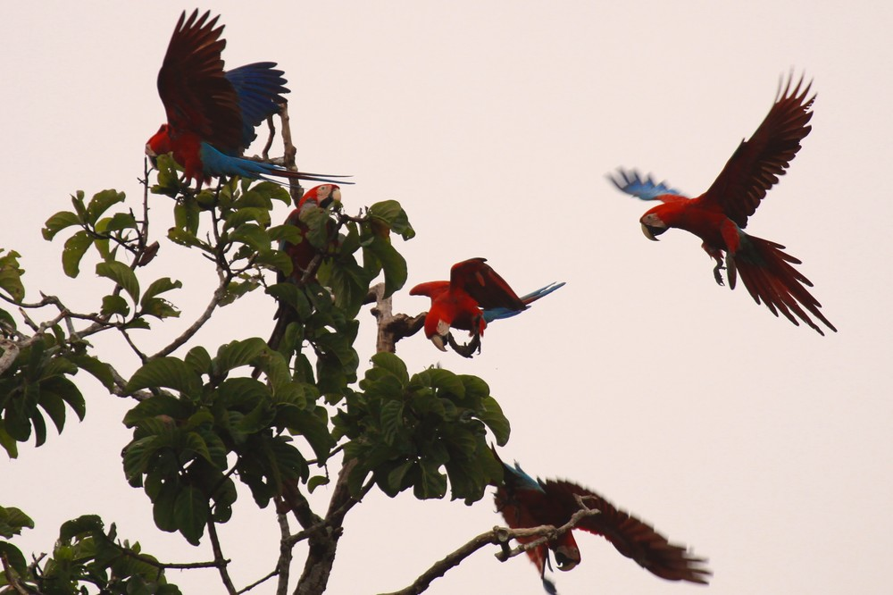 Collpa de Guacamayos, Río Heath, Amazonas, Perú