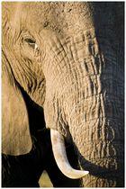 Colmillo de Elefante (Kenya)