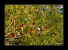 Colonia de abejarucos