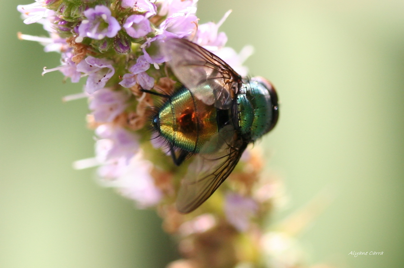 Color - Fly