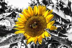 Color Key Sonnenblume