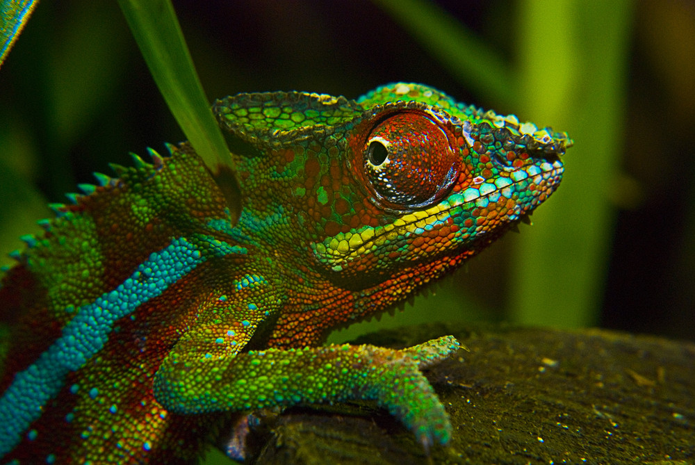 Colorful Cameleon