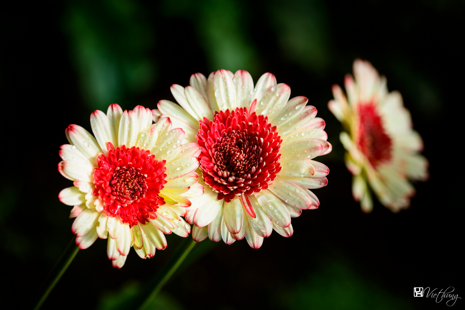 Colorful of Gerbera
