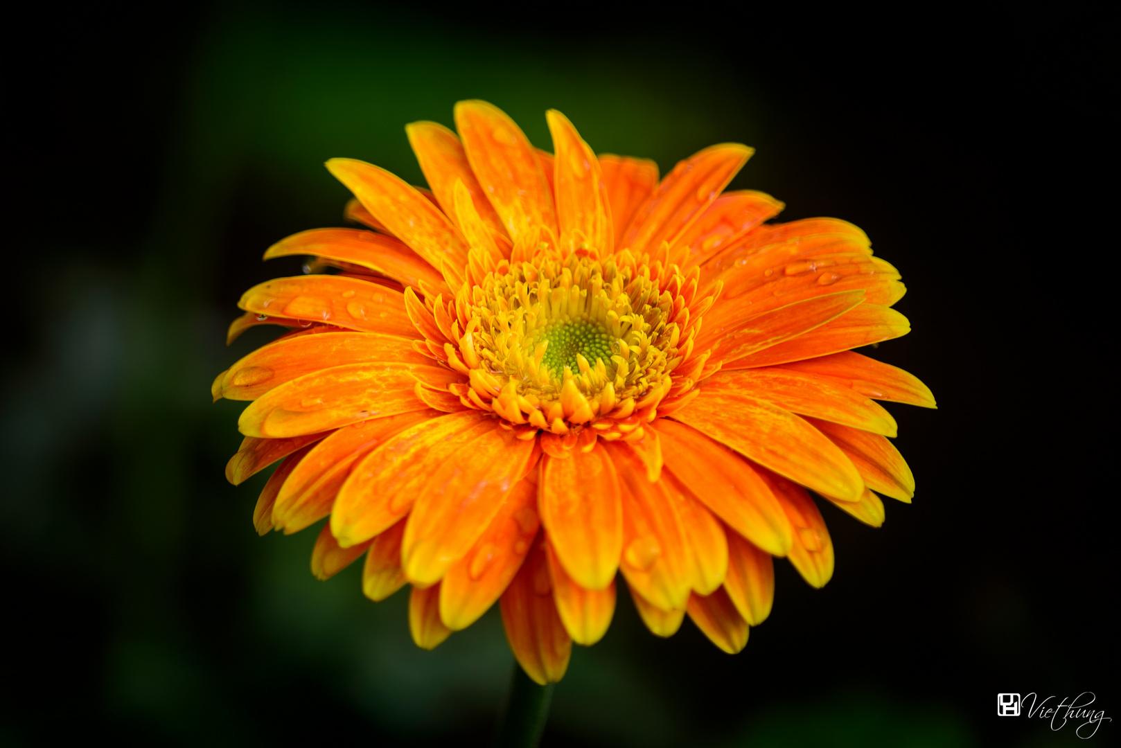 Colorful of Gerbera