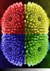 Coloribacter Colorspinata