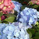 coloridas hortencias---