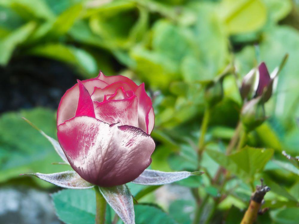 colorierte Rose