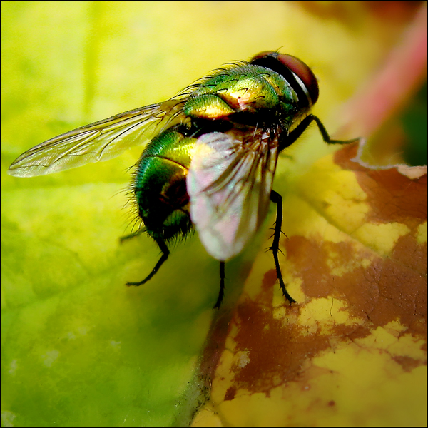 Colour Fly