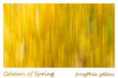 Colours of Spring - forsythia yellow